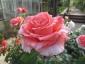 Florablog-Roseto-Botanico-Carla-Fineschi-66.jpg
