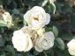 Florablog-Roseto-Botanico-Carla-Fineschi-68.jpg
