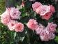 Florablog-Roseto-Botanico-Carla-Fineschi-69.jpg