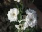 Florablog-Roseto-Botanico-Carla-Fineschi-70.jpg
