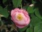 Florablog-Roseto-Botanico-Carla-Fineschi-71.jpg