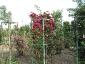 Florablog-Roseto-Botanico-Carla-Fineschi-73.jpg