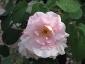 Florablog-Roseto-Botanico-Carla-Fineschi-75.jpg