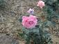 Florablog-Roseto-Botanico-Carla-Fineschi-78.jpg