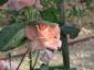 Florablog-Roseto-Botanico-Carla-Fineschi-80.jpg