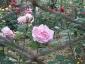 Florablog-Roseto-Botanico-Carla-Fineschi-86.jpg