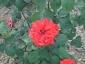 Florablog-Roseto-Botanico-Carla-Fineschi-87.jpg
