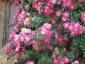 Florablog-Roseto-Botanico-Carla-Fineschi-95.jpg