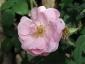 florablog-roseto-botanico-carla-fineschi-100.jpg