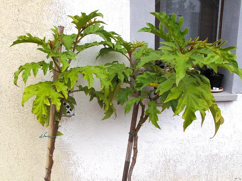 Piante di solanum torvum da far svernare florablog for Pianta solanum