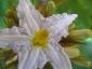 solanum-in-fiore-03