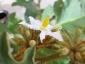 solanum-in-fiore-05