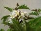 Solanum torvum maggio 2010 1