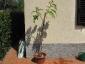 Solanum torvum maggio 2010 2