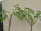 Solanum torvum maggio 2010 3