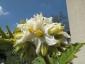 Solanum torvum maggio 2010 4