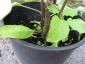 Solanum torvum maggio 2010 5