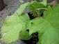 Solanum torvum maggio 2010 6