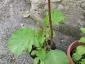 Solanum torvum maggio 2010 7