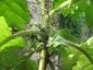 Solanum torvum maggio 2010 8