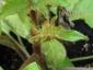 Solanum torvum maggio 2010 9
