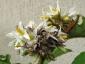 Solanum torvum maggio 2010 10