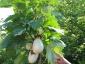 Solanum torvum, è tempo di melanzane 01