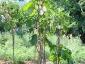 Solanum torvum, è tempo di melanzane 03