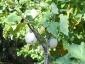 Solanum torvum, è tempo di melanzane 04