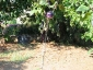 Solanum torvum, è tempo di melanzane 05