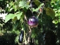 Solanum torvum, è tempo di melanzane 07