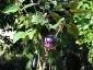 Solanum torvum, è tempo di melanzane 06