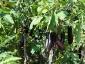 Solanum torvum, è tempo di melanzane 09