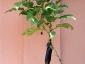 Solanum torvum, è tempo di melanzane 10