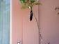 Solanum torvum, è tempo di melanzane 11
