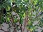 Solanum torvum, è tempo di melanzane 13