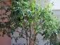 Solanum torvum, è tempo di melanzane 12