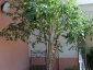Solanum torvum, è tempo di melanzane 14