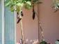 Solanum torvum, è tempo di melanzane 15