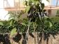 Solanum torvum, è tempo di melanzane 17