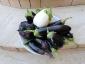 Solanum torvum, è tempo di melanzane 18