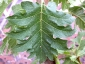 Florablog-Solanum-torvum-01-foglia.jpg