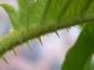 Florablog-Solanum-torvum-02-spine.jpg