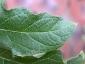Florablog-Solanum-torvum-08-lobo.jpg
