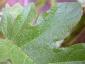 Florablog-Solanum-torvum-09-particolare-foglia.jpg
