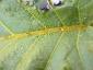 Florablog-Solanum-torvum-14-particolare-venatura.jpg