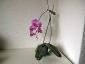 Un keiki di Phalaenopsis... in fiore!