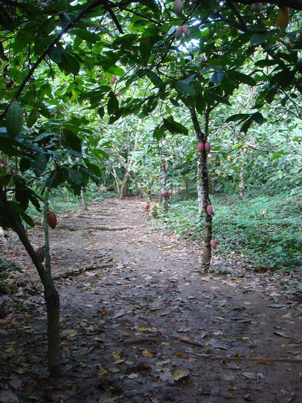 Piante Di Cacao : In venezuela dalla pianta del cacao al cioccolato più