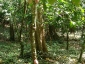 04-pianta-di-cacao-tronco.jpg