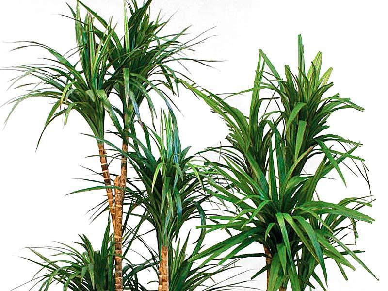 Piante per principianti dracena marginata florablog for Palma pianta